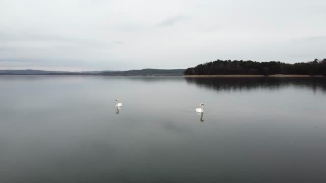 Swan swimming on lake evening pond video