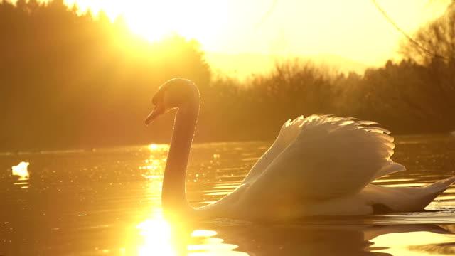 zeitlupe: swan schwimmen - schwan stock-videos und b-roll-filmmaterial
