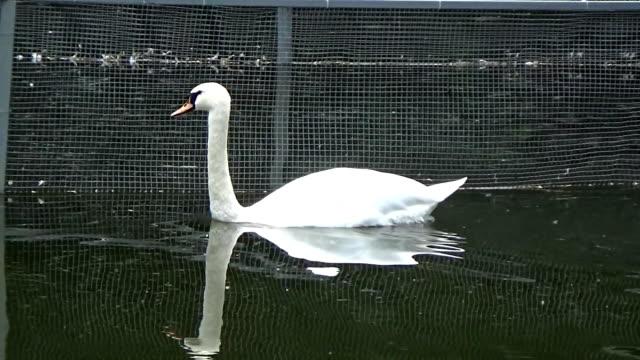 a swan swims near the mesh - ghat filmów i materiałów b-roll