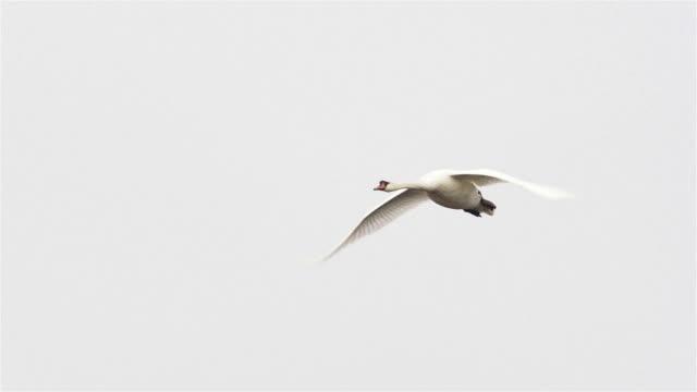 swan - schwan stock-videos und b-roll-filmmaterial