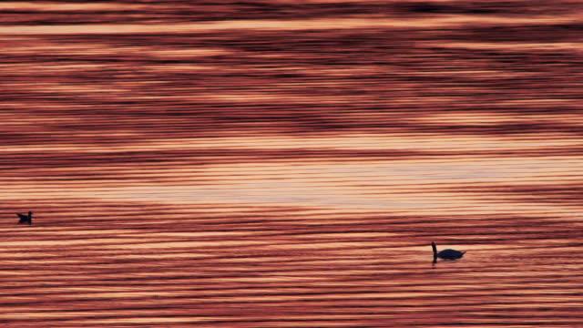 stockvideo's en b-roll-footage met swan - vachtpatroon