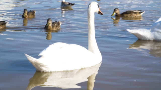 Swans and ducks on the lake close up in sunny weather