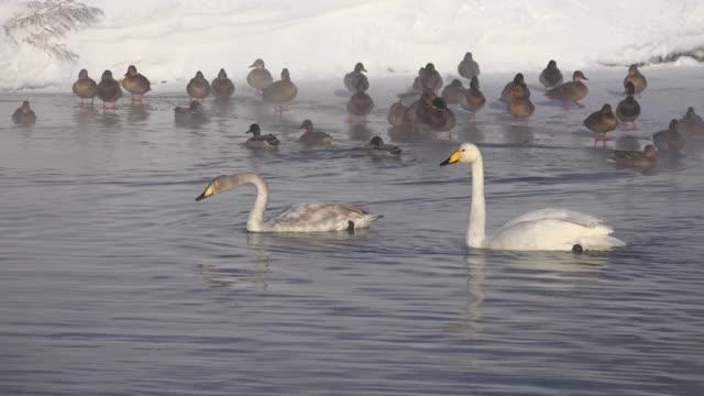 シグナス シグナスとカモ白鳥冬はアルタイ川バラノフカ - シベリア点の映像素材/bロール