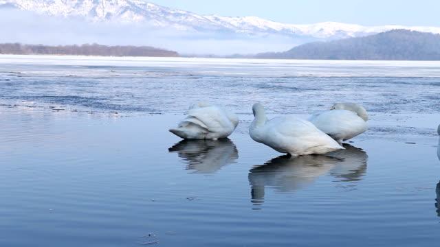 白鳥に浮かぶ、温泉日本のクローズアップ - 冬点の映像素材/bロール
