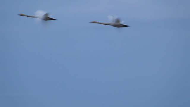 白鳥フライング春の移行 - 2匹点の映像素材/bロール