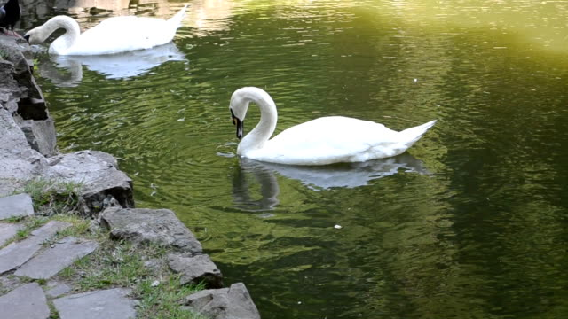 Swans in a pond video