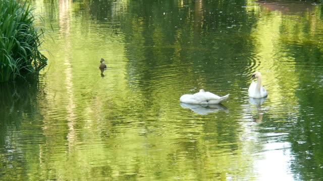 Schwäne im Stadtpark. – Video