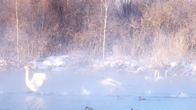 白鳥の湖朝の着陸ミストで朝早く - シベリア点の映像素材/bロール