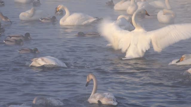 冬の夜の時間で蒸発霧にアルタイ湖スベトラヤで白鳥 ビデオ