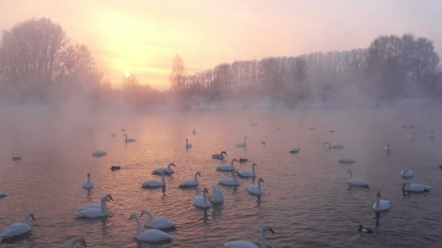 Swans on Altai lake Svetloe in the evaporation mist  at evening time in winter Swans Cygnus cygnus on Altai lake Svetloe in the evaporation mist  at sunset time in winter siberia stock videos & royalty-free footage