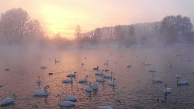 schwäne am altai see svetloe in der verdunstung nebel am abend im winter - schwan stock-videos und b-roll-filmmaterial