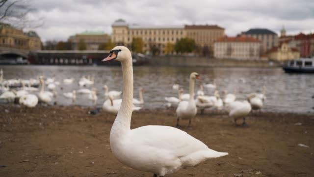 プラハのヴルタヴァのほとりにある白鳥 - チェコ共和国点の映像素材/bロール