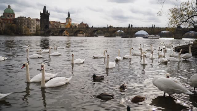 Swans on the banks of the Vltava in Prague