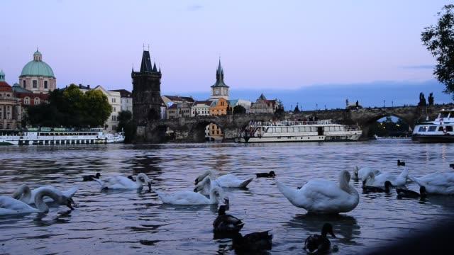 夕暮れ時にプラハを流れるヴルタヴァ川の白鳥。チェコ共和国。カメラの動きは無し。 - チェコ共和国点の映像素材/bロール