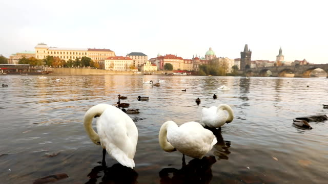 Swans on the Vltava River, Swans in Prague, panoramic view, wide angle, view of the old town and Charles Bridge across the Vltava River in Prague video