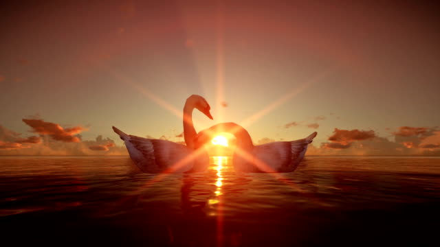 Swans on water at sunset video