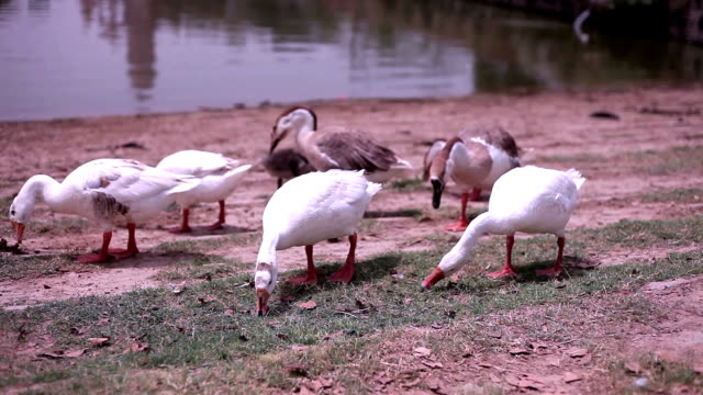 Swans outdoor in the nature HD1080p: Flock of swan walking near lake & finding food. haryana stock videos & royalty-free footage
