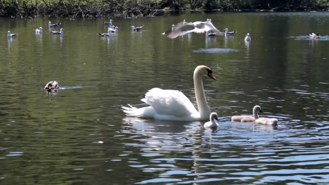Swans swimming with their babies video