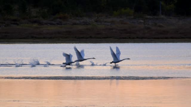 Swans take off from the lake water surface after sunset. Slow motion