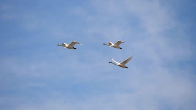 swans - uccello acquatico video stock e b–roll