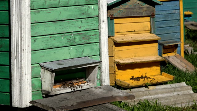 Swarm of bees insect fly to colorful beehive in beekeeper farm. Focus change video