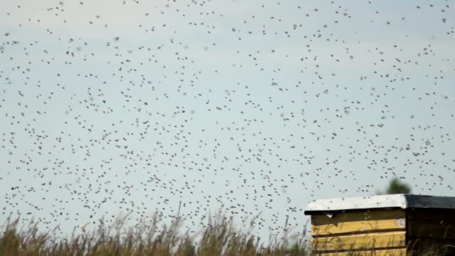 A swarm of bees swarming around a hive video