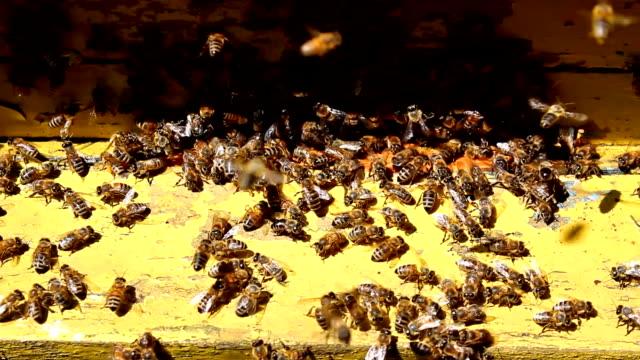 sciame di api - ape operaia video stock e b–roll