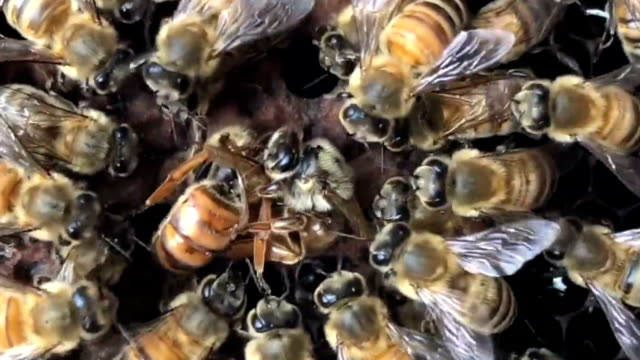 a swarm of  bees watched the queen bee fight - ape regina video stock e b–roll
