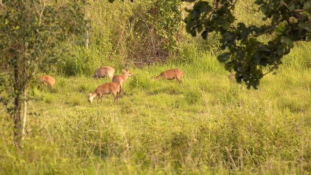 swarm of deer eating video