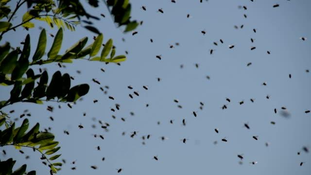schwarm honigbienen fliegen neben dem ast eines schwarzen heuschreckenbaums. - hornisse stock-videos und b-roll-filmmaterial