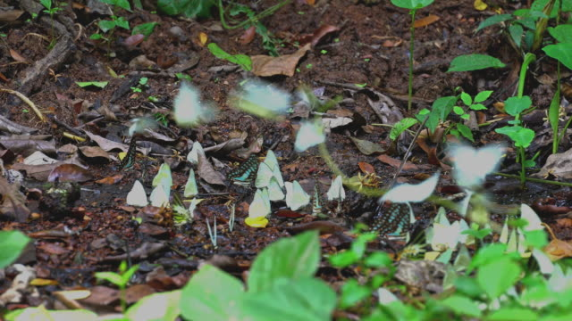 Swarms of butterflies feed on swamps.
