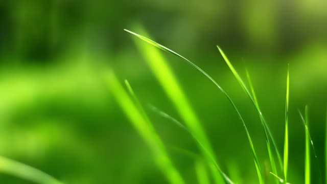 Swaying grass (loopable) Close-up view of green grass in wind. Shallow depth of field. blade of grass stock videos & royalty-free footage