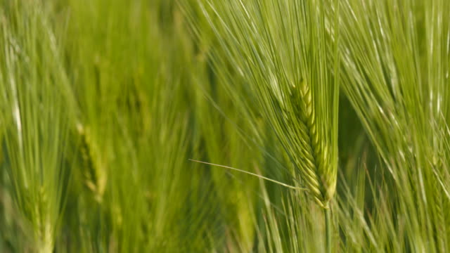 Swaying Green barley in a field Swaying Green barley in a field monoculture stock videos & royalty-free footage