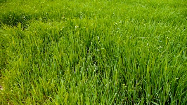 Swaying green grass video
