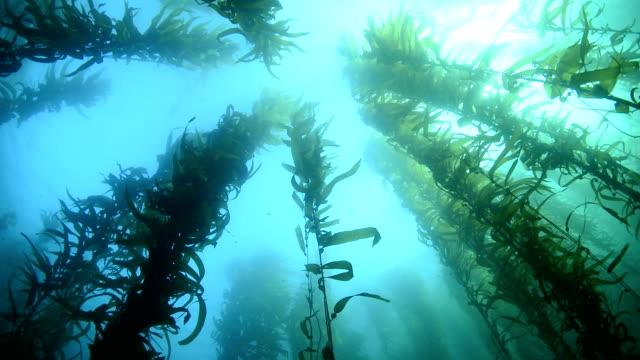 Swaying kelp
