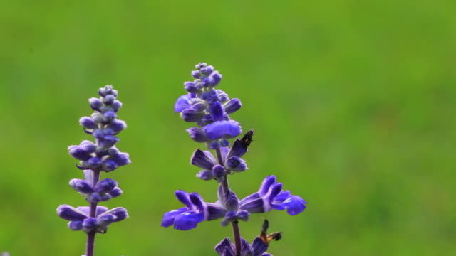 vidéos et rushes de ballotter lavande flower power en haute définition - tige d'une plante