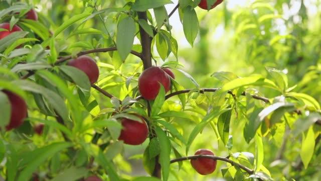 słodkie i dojrzałe nektarynki lub brzoskwinie na drzewie. - brzoskwinia drzewo owocowe filmów i materiałów b-roll