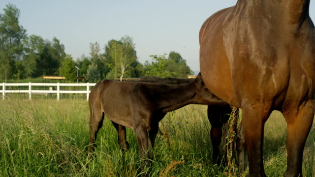 close up: sweet baby coal drinking milk and following his mother - cavalla video stock e b–roll