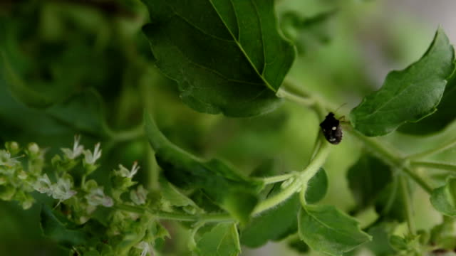 sweet basil flower with a bug. video