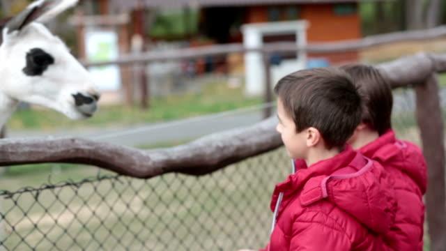stockvideo's en b-roll-footage met lief schattig peuter kind, lama op een boerderij kinderen voeden. mooie jongen kinderboerderij dieren in de dierentuin. kinderen en dieren samen - teenager animal