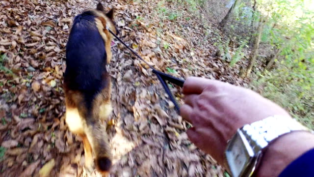 Sweet dog is on a leash in forest path. POV from the master's hand Sweet dog is on a leash in forest path. POV from the master's hand hound stock videos & royalty-free footage