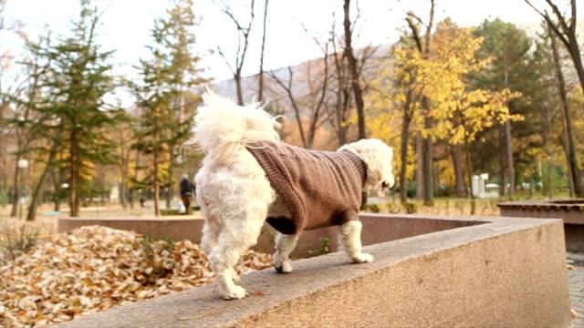 かわいらしい秋のプードル子犬 - ビションフリーゼ点の映像素材/bロール