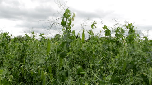 söta gröna ärtor - pea sprouts bildbanksvideor och videomaterial från bakom kulisserna