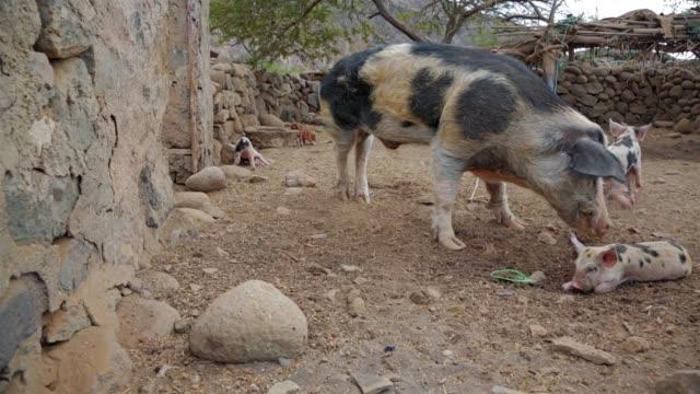 サントアンタン - カーボベルデ諸島の豚舎で甘い pietrain ピグレット - 子豚点の映像素材/bロール