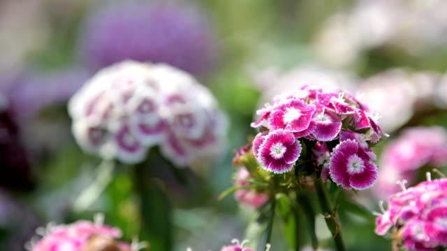 꽃밭에서 달콤한 윌리엄 꽃입니다. - 초점 이동 스톡 비디오 및 b-롤 화면