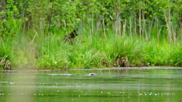 Piscine de beaver - Vidéo