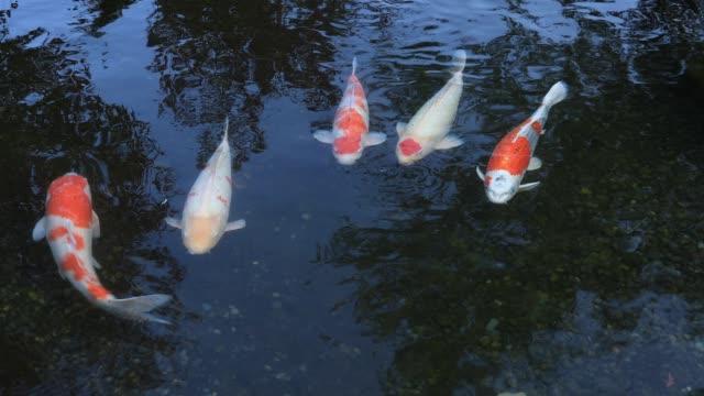 stockvideo's en b-roll-footage met zwemmen karpers in de vijver op gyokuro dorp in shizuoka, japan - vachtpatroon