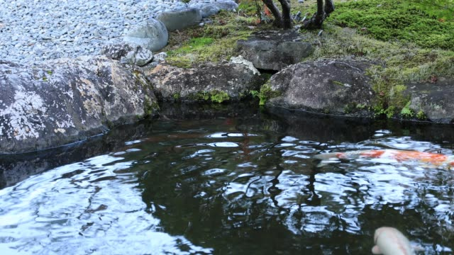 Swimming carp in the pond at Gyokuro village in Shizuoka Japan Fujieda-shi Shizuoka / Japan - 11.27.2018 : It's a Japanese garden in Shizuoka Japan. camera : Canon EOS 5D mark4 animal markings stock videos & royalty-free footage