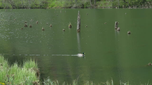 Swimming Duck Through Lake video