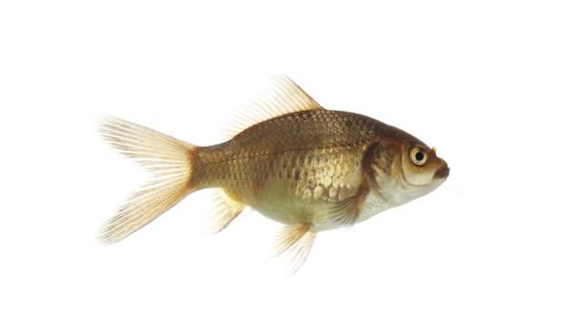 nuoto pesce isolato, loopable - soltanto un animale video stock e b–roll
